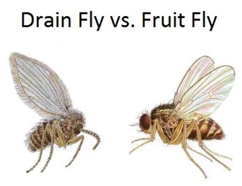 fruit flies in my room fruit fly sewer gnat bpc pittsburgh