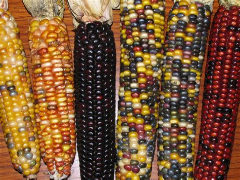 colorful corn colorful indian corn arlan ten kley