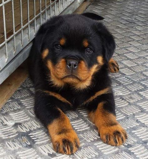 rottweiler puppies in chicago breed rottweiler puppies text 301 485 9045 chicago offer chaign urbana pets dogs