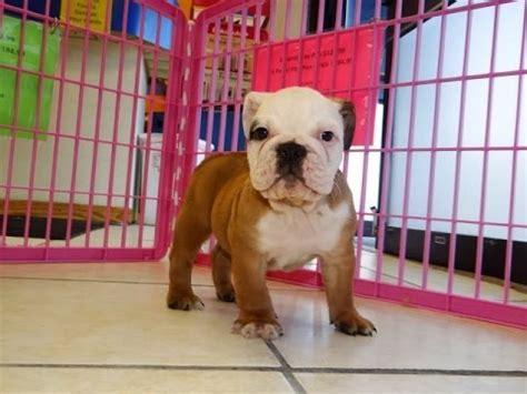 english bulldog puppies dogs  sale  memphis