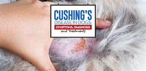 symptoms of s disease in dogs cushing s disease in dogs science on symptoms diagnosis treatments