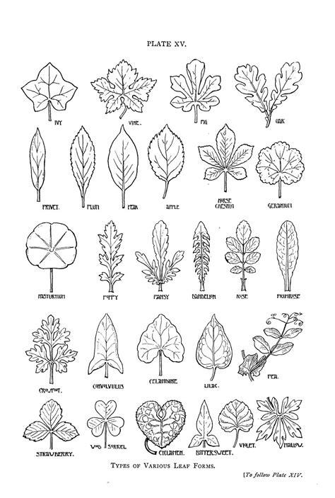 coloring pages of leaf shapes botanical leaf shapes trees pinterest leaves