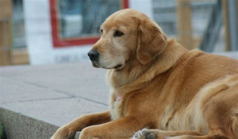 golden retriever diet top 3 foods for golden retrievers