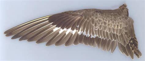 description of the hudsonian godwit