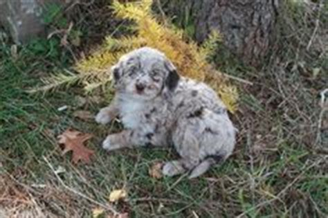 mini aussiedoodle ontario 1000 images about goldendoodles of willow farm on