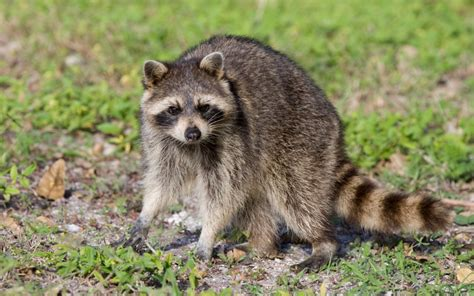 Learn How To Get Rid Of Raccoons Raccoon Removal Mississauga How To Get Rid Of Raccoons In Your Backyard
