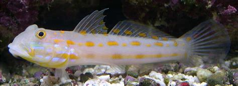 image gallery spotted goby