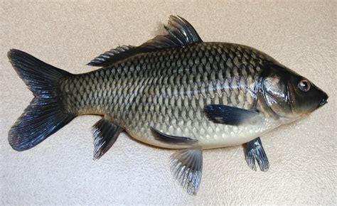 Benih Ikan Koi Malaysia mengenal ikan majalaya bibitikan net