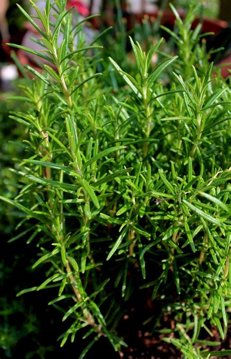 Rosmarin Garten Pflanzen by Rosmarin Rosmarinus Officinalis Garten Wissen