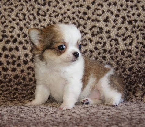 akc puppy breeders akc chihuahua puppies breeder profile review ratings akc chihuahua puppies in