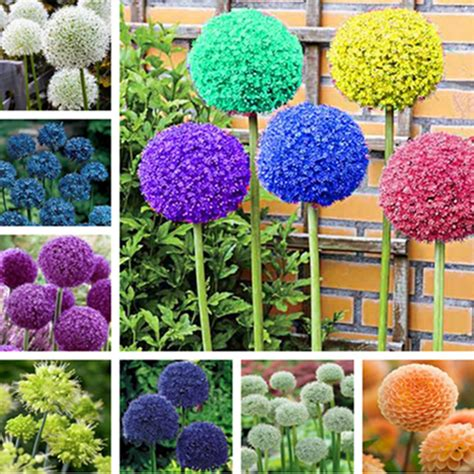 100 pcs rare color giant allium giganteum beautiful flower