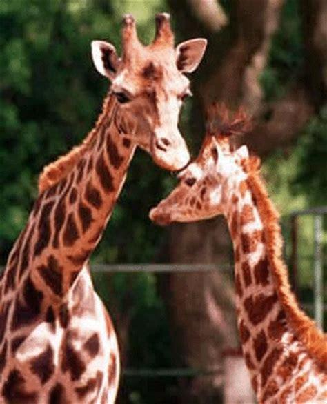 imagenes de jirafas en ingles 191 c 243 mo se dice la jirafa en ingl 233 s diccionario biling 252 e 3362