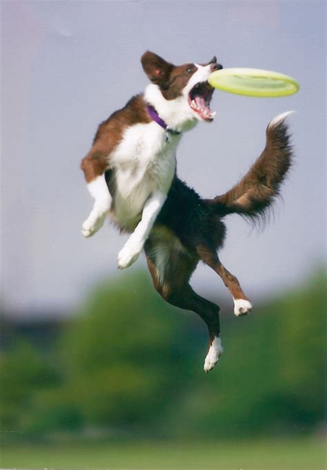 catching frisbee the best exercises for keeping your fit and happy the best by dogpacer