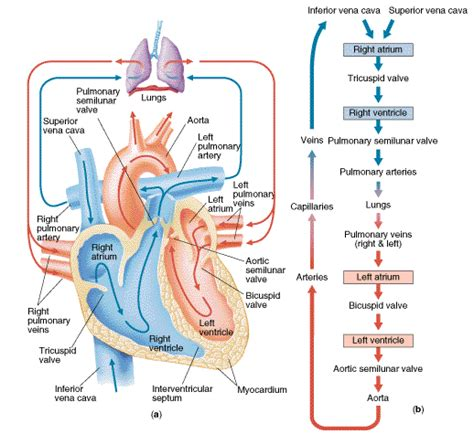 diagram of the and blood flow blood flow of blood flow physiology path of blood