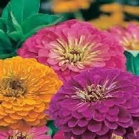 Zinnia Jazz 10benih Murah jual bibit bunga berkualitas jual bibit bunga murah
