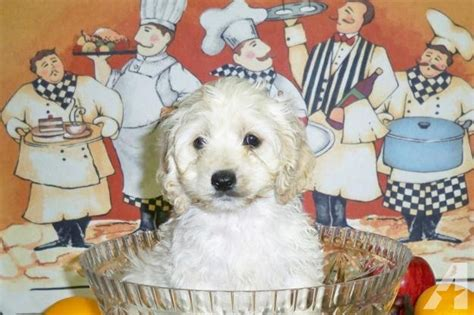 cockapoo puppies for sale in ky cockapoo puppies for sale in springfield kentucky classified americanlisted