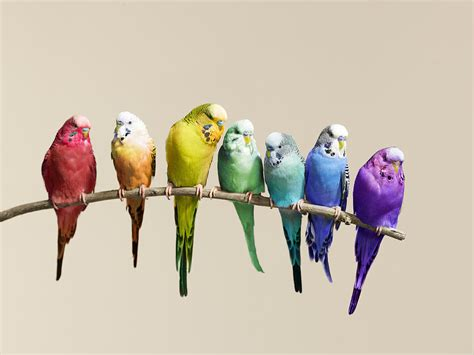 budgie colors budgies images flock of budgies hd wallpaper and