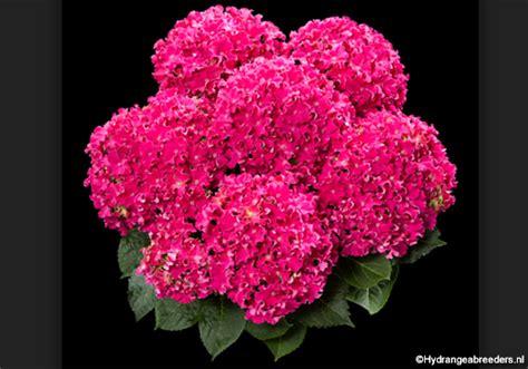 fiori dall olanda dall olanda arriva la nuova ortensia tutta riccia fiori