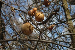 oak galls and mistletoe nature s decorations the real
