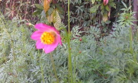 bentuk bunga tanaman cokra cakri  jarang diketahui