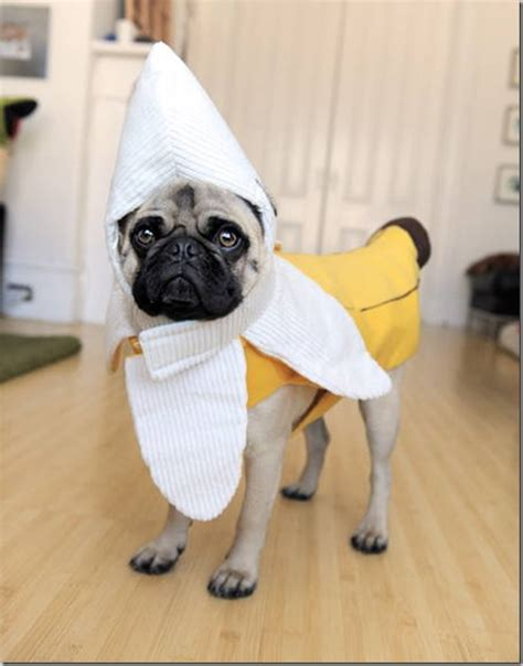 pug costumes for the gallery for gt pug in cat costume