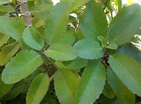 Tanaman Hias Cocor Bebek gambar obat ramuan tradisional ambeien tanaman cocor bebek