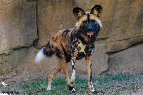 painted dogs painted passes away the cincinnati zoo