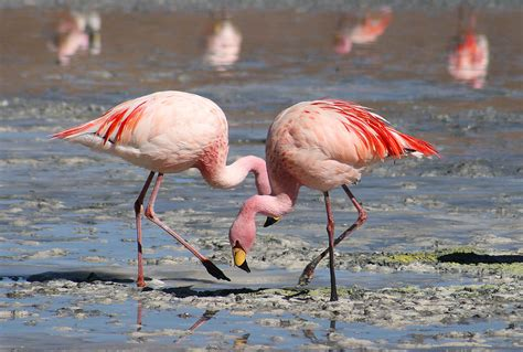 what color is a flamingo flamingos