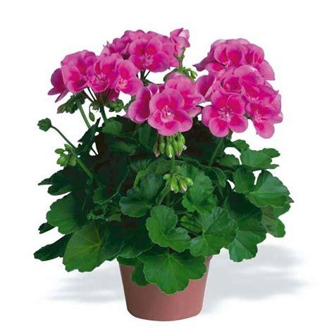 vaso di gerani variet 224 geranio fiori in giardino scopriamo