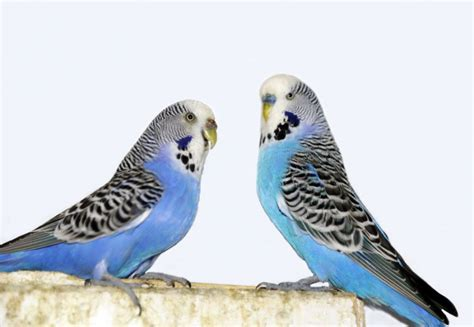 Buys A Parakeet by Budgie Buying And Care For Beginners Pets4homes