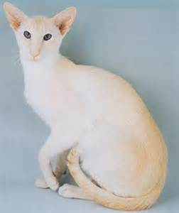 cream point siamese cats siamese cat breeder