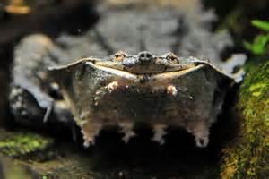 mata mata turtle facts unique one of a turtle