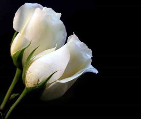 imagenes de rosas blancas para portada de facebook rosa blanca para portada de facebook imagui