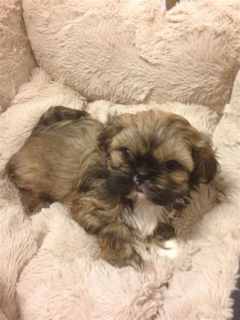 shih tzu puppies for sale in nd kc reg shih tzu puppies for sale ready 22nd march keighley west pets4homes