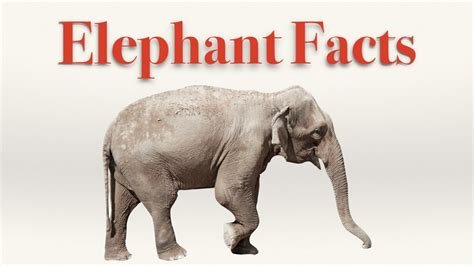 8 Facts On Elephants by Interesting Facts About Asian And Elephants