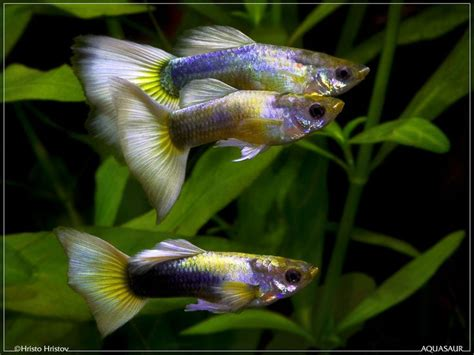 aquarium design for guppies fancy guppy freshwater fish pinterest pastel yellow