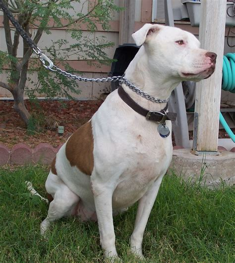 white and brown pitbull puppy brown and white pitbull pictures to pin on pinsdaddy