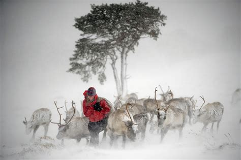 scotland reindeer herd prepares for christmas day