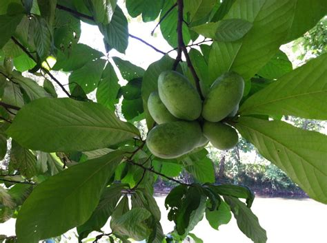 best fruit trees for ohio 61 best images about fruit trees that aren t figs on