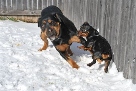 dachshund rottweiler imgs for gt dachshund mix with rottweiler