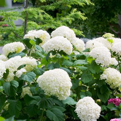 top 28 best hydrangea for shade top 10 shade plants for north houston kingwood garden
