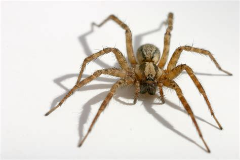 Carpet Moth Life Cycle by Hobo Spider Identification Pest Control Facts