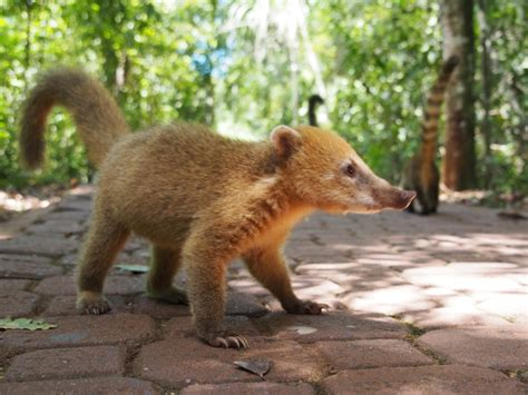coati attack but those attack coatis see why i was so scared