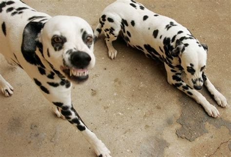 why are dalmatians dogs why dalmatians are a wreck