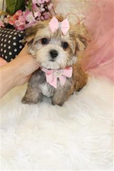 teacup yorkies for sale near me teacup yorkies for sale near me