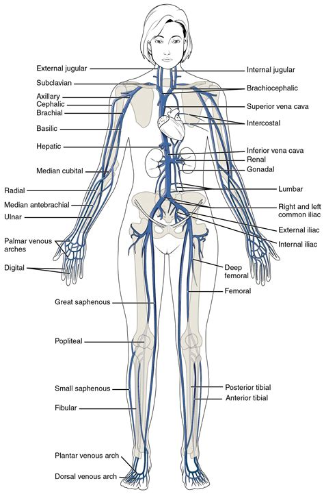 what color are arteries this diagram shows the major veins in the human