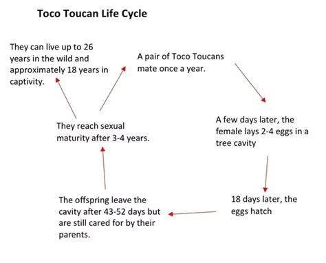 what is the life cycle of a toucan do they live longer in captivity or in the wild quora