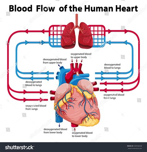 this diagram of the human cycle shows that diagram showing blood flow human stock vector