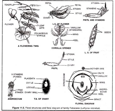 floral diagram of fabaceae family families of flowering plants and their economic importance