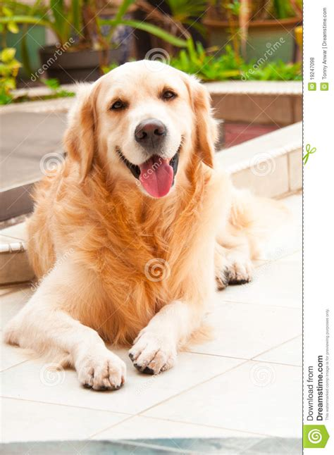 are golden retrievers friendly friendly golden retriever royalty free stock photos image 19247098